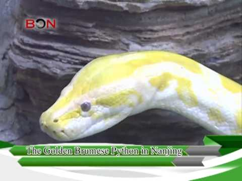 The golden brumes python in Nanjing - China Travel New Links - Episode 169 - BONTV China