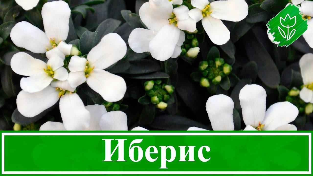 Иберис цветы выращивание 64