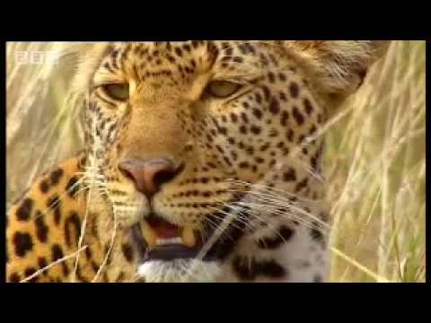 Leopard hunts for cubs - BBC wildlife