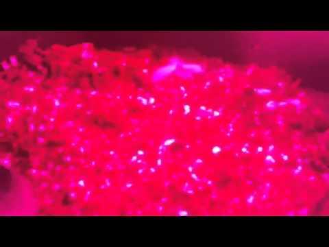 Red devil seedlings day 4 under UFO led lights