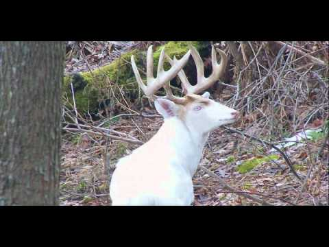 Biggest Albino Deer In The World The albino trailer  blue