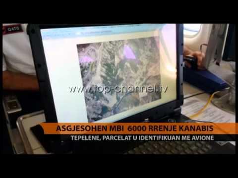 Asgjesohen mbi 6000 rrënjë kanabis - Top Channel Albania - News - Lajme