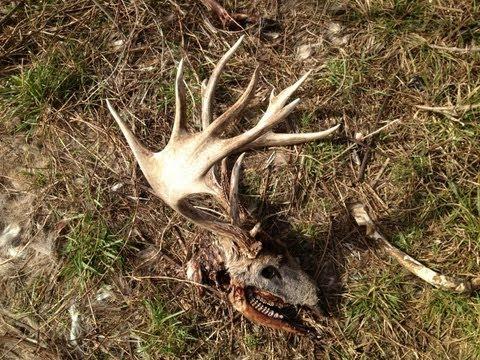 Freak nasty buck skull and carcass - YouTube