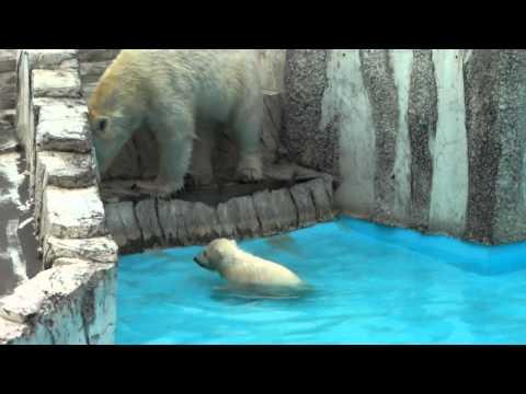 2011年4月16日 ララの赤ちゃん プールデビュー 円山動物園