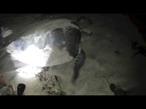 Olive Ridley Turtle Walk in Chennai Spotted a Mother Turtle & Rescued Eggs