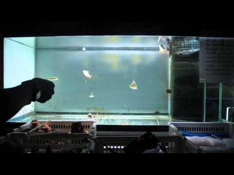 ปลามังกรทองมาเลย์กินอาหารseepoo#1