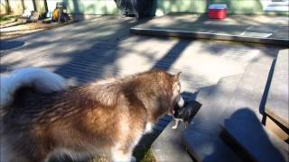 My Chihuahua is the Boss of My Giant Alaskan Malamute