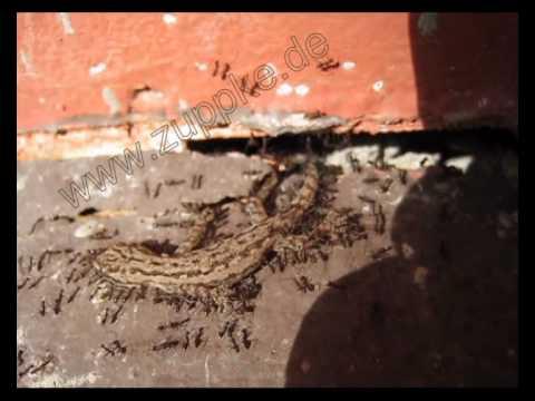 Ameisen tragen einen gecko in deren bau ants moving a gecko into their nest youtube - Ameisen in der wand ...