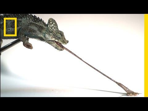 カメレオンが舌をのばして獲物を捕獲するスローモーション