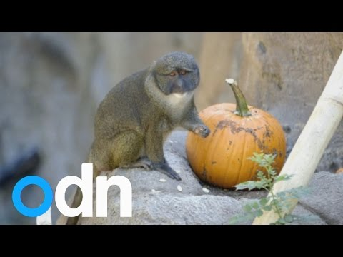 CUTE: Animals play with pumpkins at San Diego Zoo