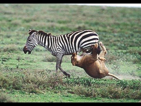 Lion Zebra Love Zebra vs Lion Zebra Survived