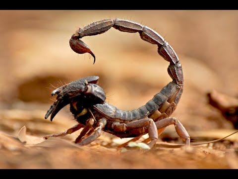 СКОРПИОНЫ - УБИЙЦЫ!. 10 самых опасных скорпионов в мире.