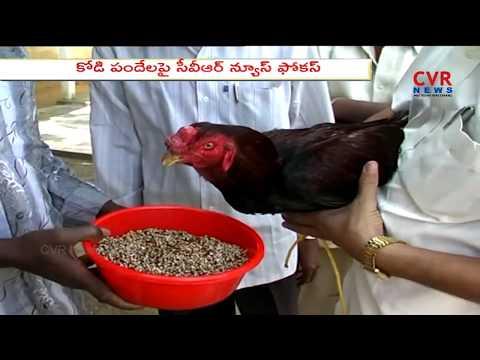 CVR News Focus: కోడి పందేలు | Sankranthi Festival Special in Andhra Pradesh | CVR NEWS