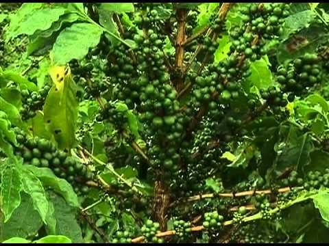 Agricultores reclamam do preço da saca de café estipulado pelo Ministério da Agricultura