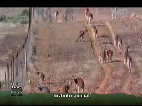 Instinto Animal - El Canguro