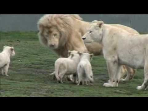 White Lion Cubs Birth Part 2 - Starting To Eat. video