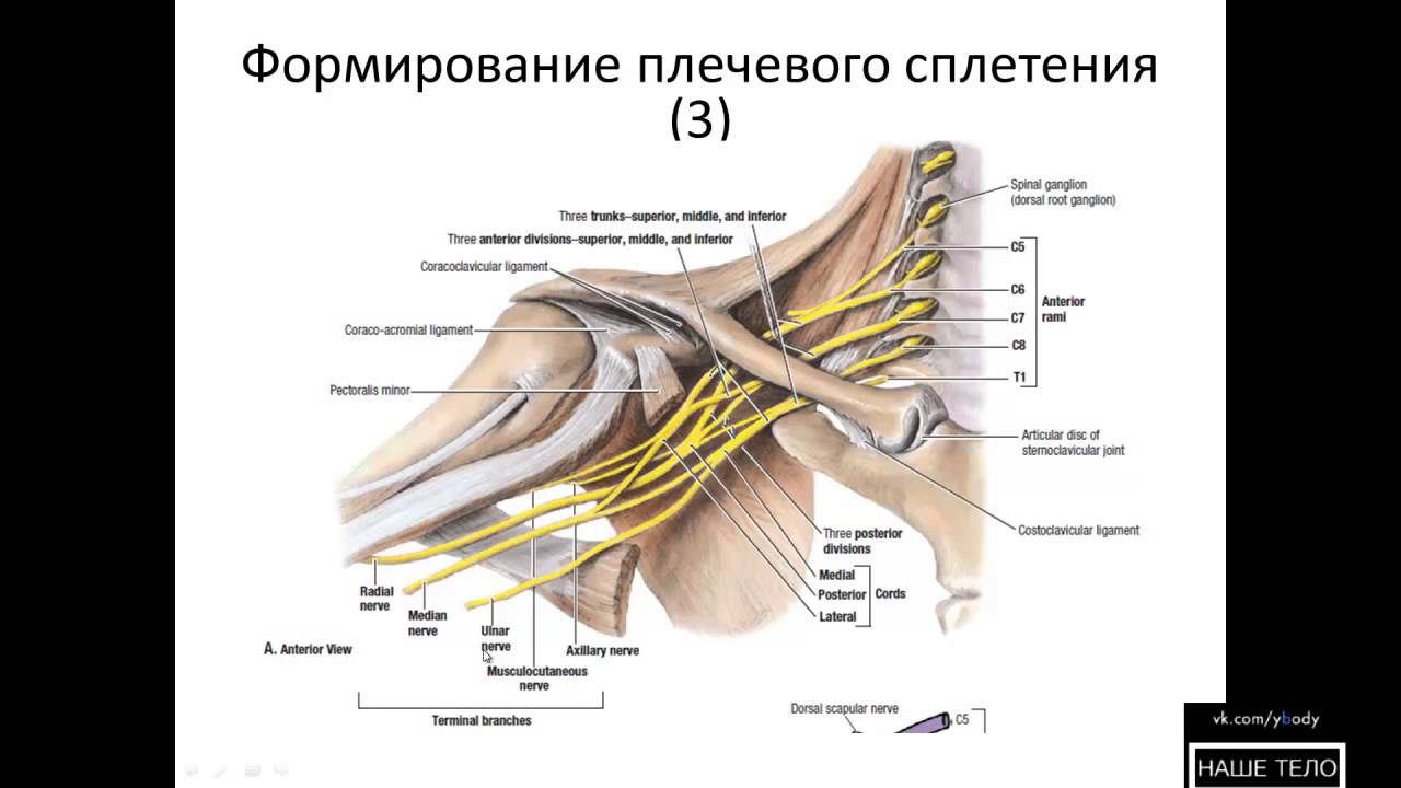 Сплетение Плечевое фото
