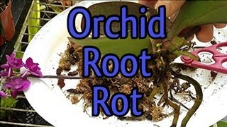 Phalaenopsis ROOT ROT & REPOT Pt1 How to deal with Root Rot on a Phalaenopsis Orchid