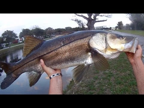 Fly Fishing Giant Freshwater Snook!