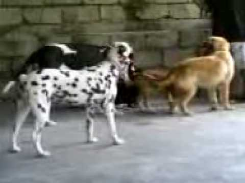 My Dogs Great Dane Golden Retriever Pitbull Dalmatian