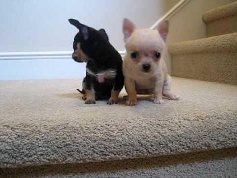 ��� ���� ������, ���� ��� ���� ������ ������� Chihuahua