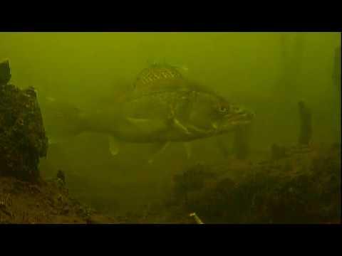 рыбалка подводные съемки видео судака