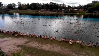 Duck Farming in Bangladesh Village Revar
