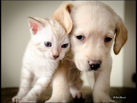 A Snow Bengal Kitten & Labrador Puppy Becoming Best Friends!