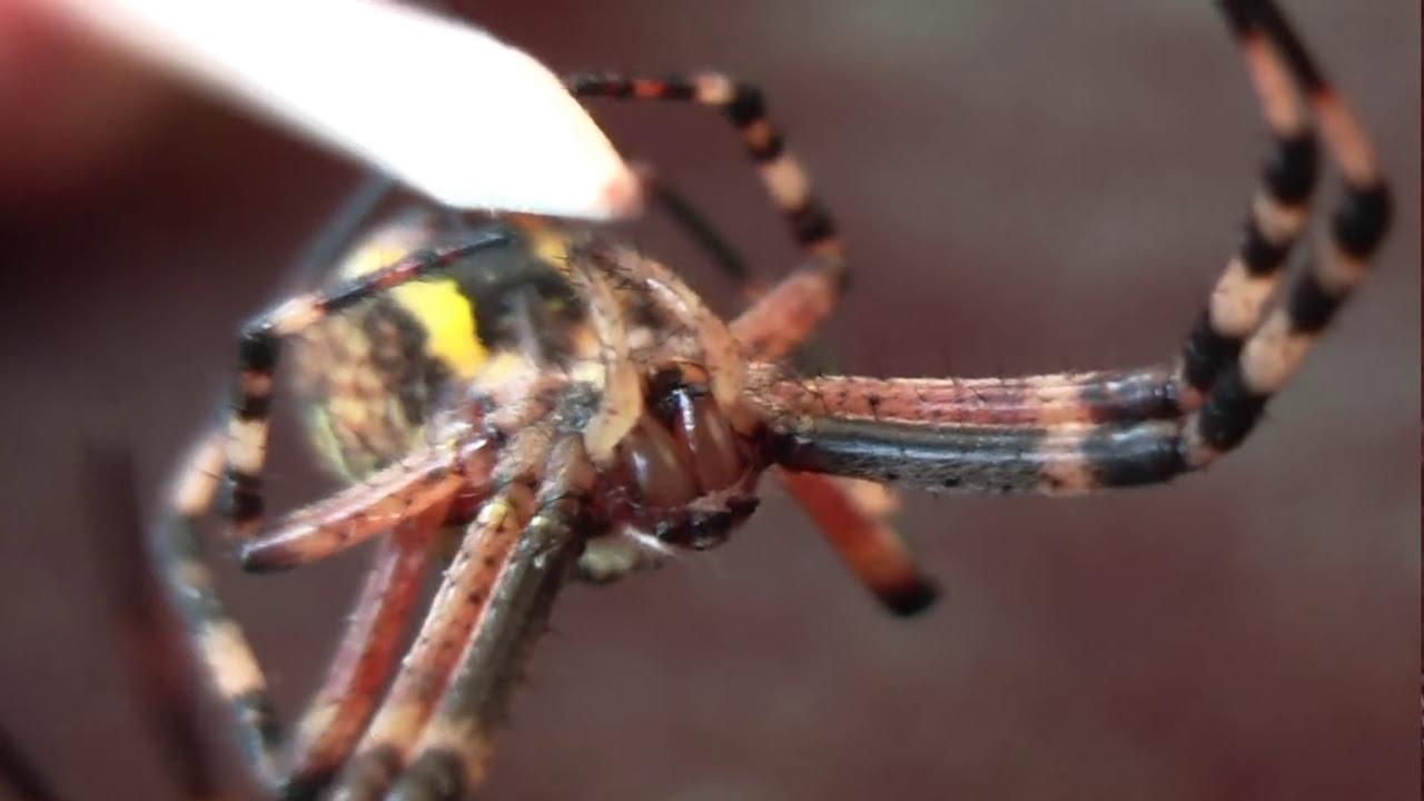 t dlich giftige tigerspinne mitten in deutschland deadly spider bites in germany youtube. Black Bedroom Furniture Sets. Home Design Ideas