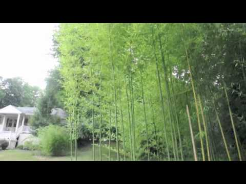 Watch bamboo grow