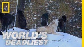 Canine Battle of Thrones | World's Deadliest