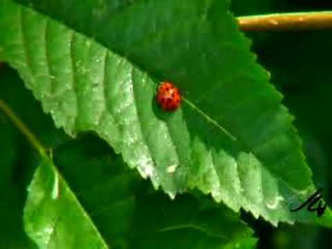 ants farming aphids