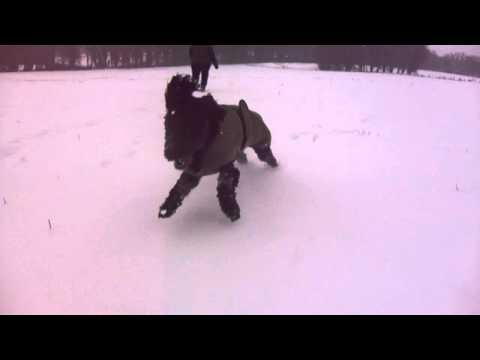 cockapoo dog - running full pelt across snow covered fields - jan 2013