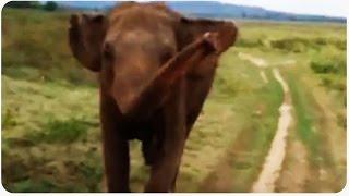 Wild Elephant Chases Tourists | Trespassing Visitors