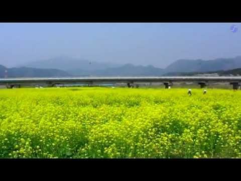 023 川渡温泉・ある日の菜花畑
