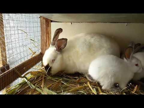 Случка кроликов калифорнийской породы