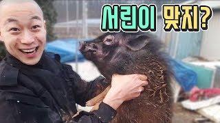 아기 애완 돼지 서린이 진흙 목욕 시키기