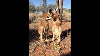 Baby Kangaroo Grooming