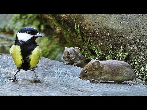 Cat Entertainment Videos - Mice and Birds Do Lunch