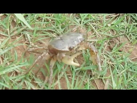 Freshwater Crab &amp  Giant Water Bug Crawling At Countryside   Visit Cambodia Rice Field