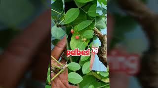 Mengenal jenis pohon Bonsai