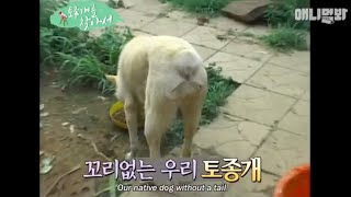 Born without a tail.. Do you know this native Korean dog?