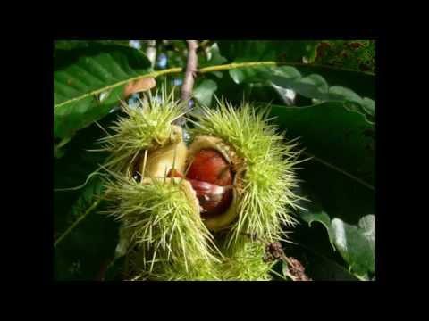 Каштан, очень красивое дерево особенно когда цветет