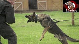 Malinois/Dutch Shepherd Puppy Update