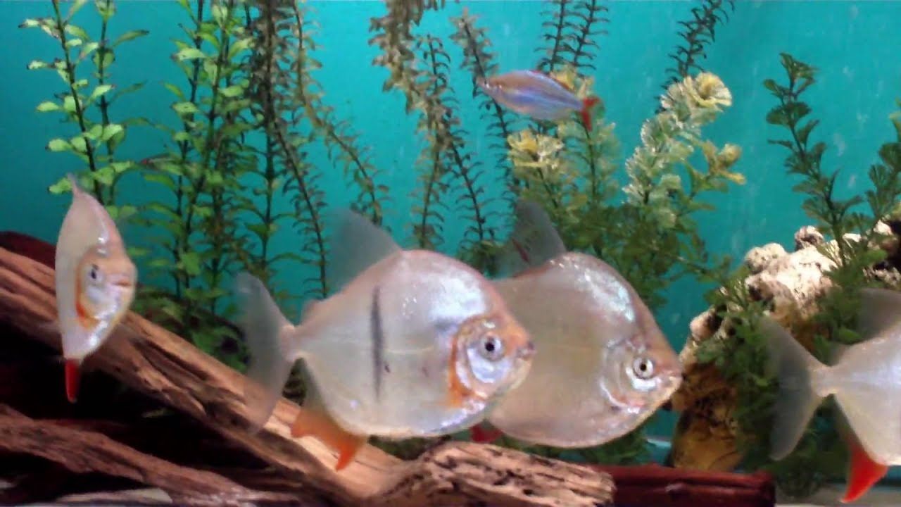 Imagecgkl Chelsey Novak in addition Red Oscar Cichlid in addition Oscar astronotus ocellatus besides Blue Neon Tetra additionally Watch. on oscar fish red