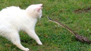 """""""වැඩ දන්නා නිසා පුස් මල්ලි බේරුනා """"Snake vs Cat - Mossy Oak"""