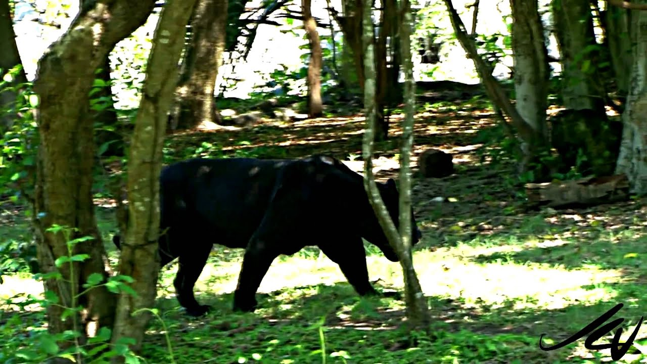 Black Jaguar Cougar And Deer Yucatan Mexico Adventure