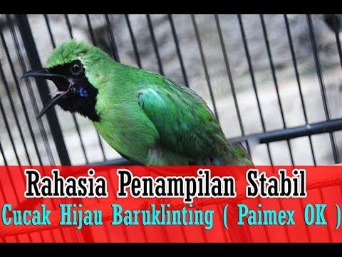 SUARA BURUNG - Tanpa Jemur & Krodong, Rahasia Penampilan Stabil Cucak Hijau Baruklinting