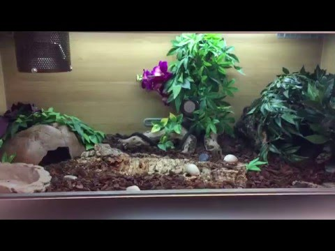 HOW TO SETUP A LARGE BALL PYTHON ENCLOSURE