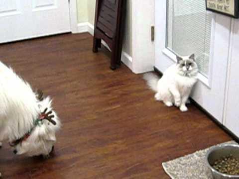 Ορεινός πυρηναίων VS Γάτας